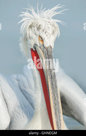 Dalmatian Pelican Pelecanus crispus Greece - Stock Photo