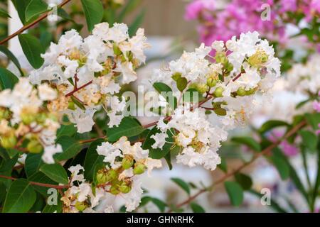 Cherry blossoms, white flowers. - Stock Photo