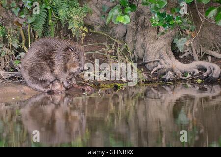 Eurasian beaver (Castor fiber) female reflected in the water as she grooms on the banks of the River Otter, Devon, - Stock Photo