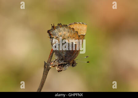 A Henry's Elfin butterfly (Callophrys henrici) perched on a stick, Indiana, United States - Stock Photo