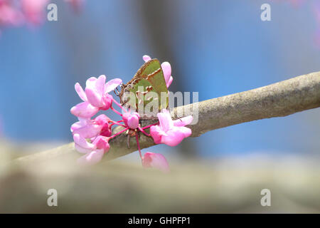 A Juniper Hairstreak butterfly (Callophrys gryneus) nectaring on eastern redbud (Cercis canadensis), Indiana, United States