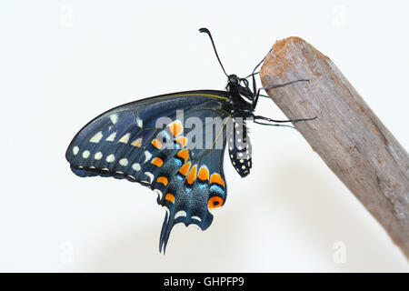 A freshly emerged female Black Swallowtail butterfly (Papilio polyxenes) resting on a piece of driftwood, Indiana, - Stock Photo