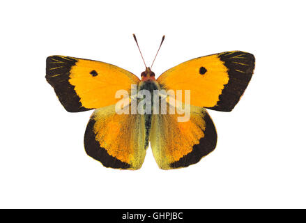 Dark clouded yellow butterfly - male, on white background - Stock Photo
