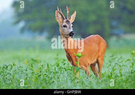 Wild roe deer (Capreolus capreolus) standing in a field - Stock Photo