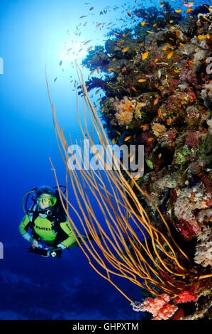Ellisella sp., Coralreef with Yellow whip coral and scuba diver, Abu Fandera, Red Sea, Egypt, Africa - Stock Photo