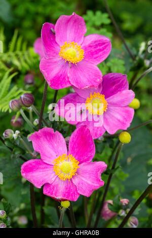 Rich pink August flowers of the compact Japanese anemone, Anemone hupehensis 'Hatakeyama Single' - Stock Photo