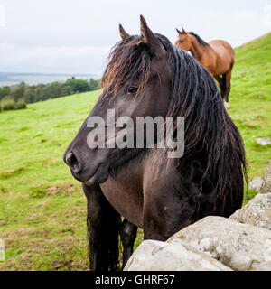 Beautiful black horse in a field in Northumberland, square crop - Stock Photo
