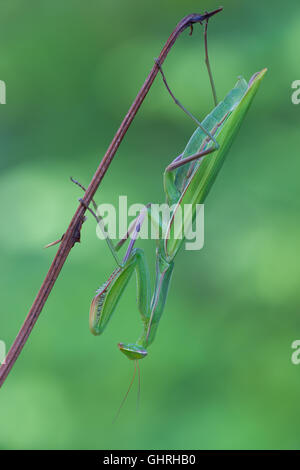 photography macro of european mantis on flowers - Stock Photo