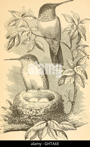 Our own birds - a familiar natural history of the birds of the United States (1879) - Stock Photo
