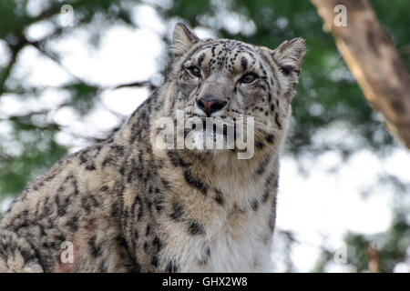 The snow leopard or ounce is a large cat native to the mountain ranges of Central and South Asia. - Stock Photo
