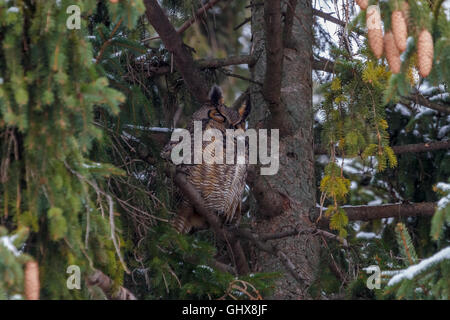 Great Horned Owl perched in a spruce tree. - Stock Photo