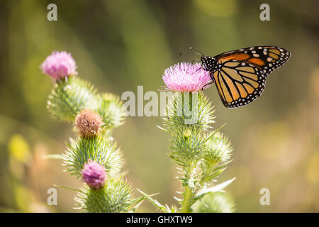 Monarch butterfly - Danaus plexippus - Stock Photo
