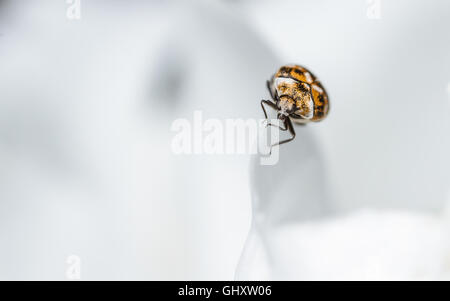 Varied Carpet Beetle (Anthrenus verbasci on the edge of a paeony flower petal. - Stock Photo