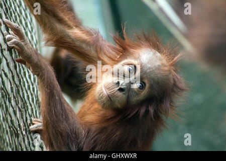 A young Orangutan at Chester Zoo - Stock Photo