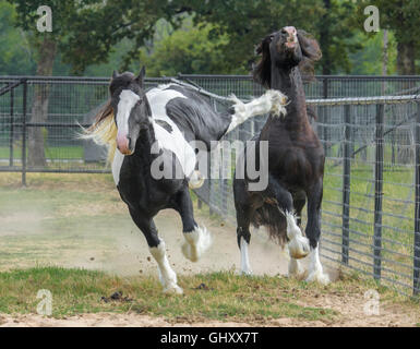 4 year old Gypsy Vanner Horse stallions roughouse and play - Stock Photo