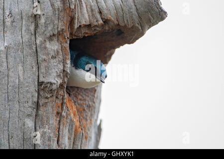 Tree swallow (Tachycineta bicolor) in nesting tree hole, Bombay Hook NWR, Delaware, USA - Stock Photo