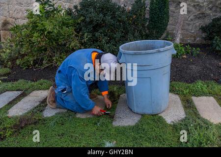 gardener weeding lawn, gardener, weeding, Dana Estates, Napa Valley, Napa County, California, United States, North - Stock Photo
