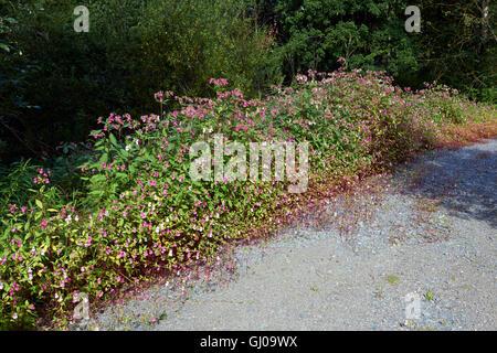 Impatiens glandulifera, Himalayan Balsam flowers