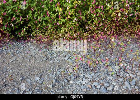 Impatiens glandulifera, Himalayan Balsam flowers Stock Photo