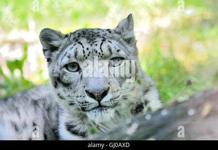 Closeup portrait of lying snow leopard (Uncia Uncia). He lives in mountain in central Asia. - Stock Photo