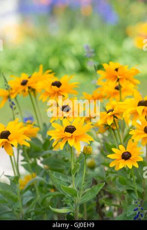 Rudbeckia 'Indian Summer' flowers in an English summer garden - Stock Photo
