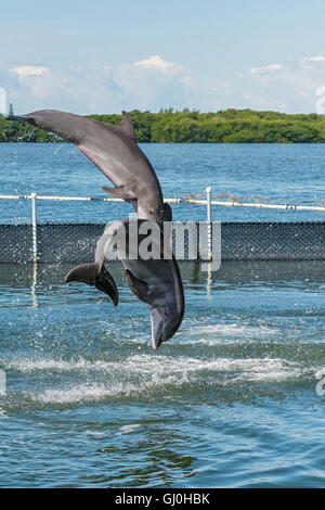 Florida Keys, Grassy Key, Dolphin Research Center, two dolphins jumping sequence 2 of 4 - Stock Photo