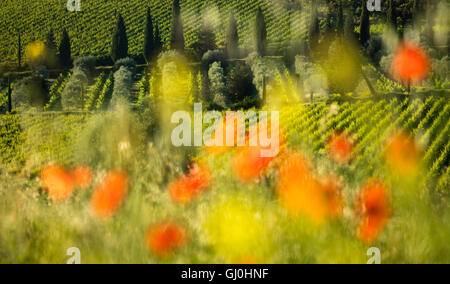 poppies and vineyards near Castelnuovo dell'Abate, Montalcino, Tuscany, Italy