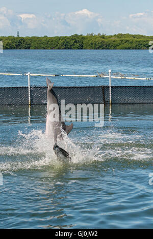 Florida Keys, Grassy Key, Dolphin Research Center, two dolphins jumping sequence 4 of 4 - Stock Photo