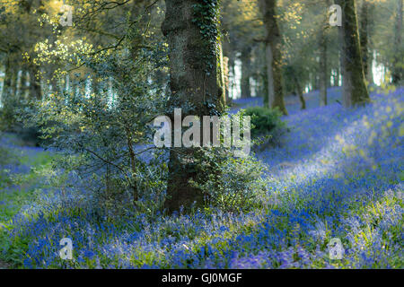 bluebells in the woods near Minterne Magna, Dorset, England - Stock Photo