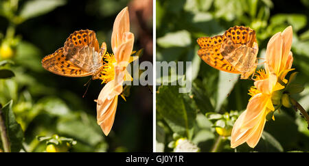 Closeup of a orange butterfly with black dots on wings stand on a yellow flower - Stock Photo