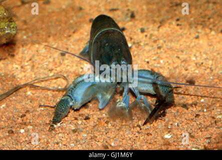 Giant African fan shrimp ( Atya gabonensis), aka African filter shrimp, vampire shrimp, Cameroon or Gabon blue rhino - Stock Photo