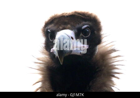 Immature Eurasian black vulture or Monk Vulture (Aegypius monachus), also Cinereous vulture. Close up of the head - Stock Photo