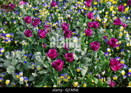Colorful flowers pictured in Washington D.C., USA. The huge amount of various flowers such as pansies and tulips - Stock Photo