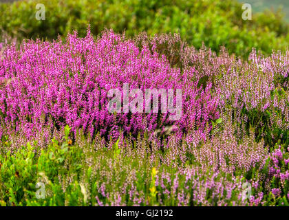 Heather in bloom on a Peak District moor - Stock Photo
