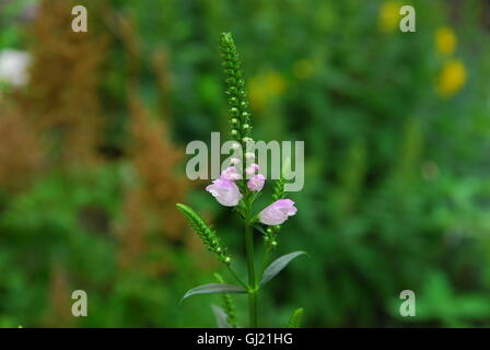 Obedient plant, false dragonhead, physostegia virginiana - Stock Photo