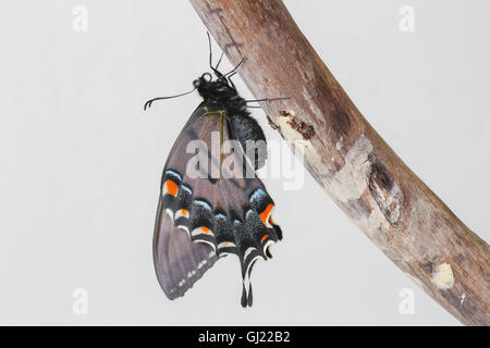 A freshly emerged, dark form female Eastern Tiger Swallowtail butterfly (Papilio glaucus) resting on a piece of - Stock Photo