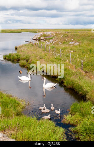 A pair of mute swans, Cygnus olor, with cygnets on Loch Bi in South Uist. - Stock Photo
