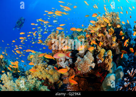 Coralreef with School of Red Coral perch or Sea Goldie and scuba diver, Wadi Gimal, Marsa Alam, Red Sea, Egypt - Stock Photo