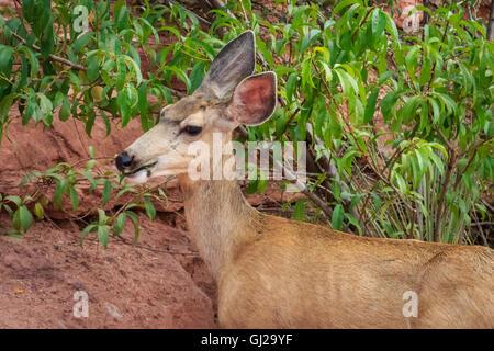 A mule deer doe is feeding near a road in the Garden of the Gods - Stock Photo