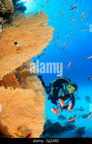 Coral reef with Giant Gorgonian or Sea fan and scuba diver, Safaga, Red Sea, Egypt - Stock Photo