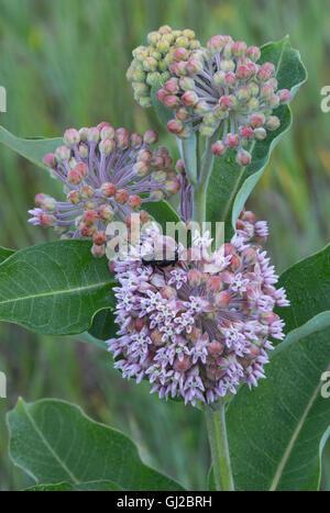 Field Cricket (Gryllus species) Common Milkweed flowers (Asclepias syriaca) Michigan USA - Stock Photo