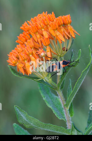 Large Milkweed Bug (Oncopeltus fasciatus) on Butterfly Milkweed flowers (Asclepias tuberosa)  E USA - Stock Photo