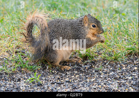 Eastern Fox Squirrel (Sciurus niger) feeding on bird seed, near bird feeder, park, E North America - Stock Photo
