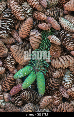 Blue Spruce Tree young and mature Spruce cones ( Picea pungens ) North America - Stock Photo