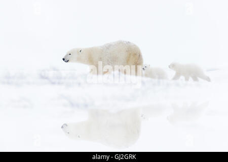 Polar bear mother (Ursus maritimus) with two cubs walking on tundra with reflection, Wapusk National Park, Manitoba, - Stock Photo