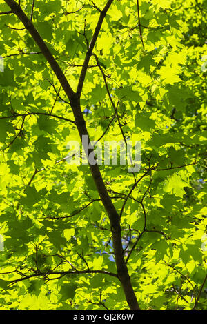 Backlit and silhouetted Acer - Maple tree leaves in spring - Stock Photo