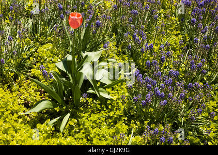 Solitary pink Tulip flower growing in garden border with Golden Creeping Jenny plants and blue Muscari armeniacum - Stock Photo