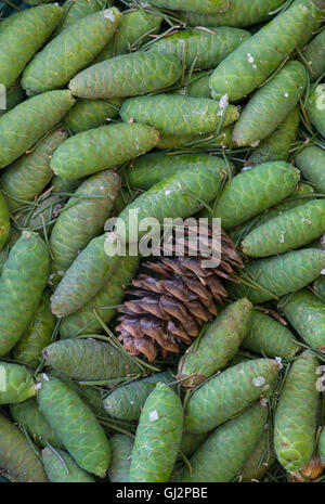 Blue Spruce Tree young and mature pine cones ( Picea pungens ) North America - Stock Photo