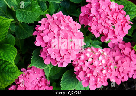 Hydrangea flowers  against a background of green leaves - Stock Photo