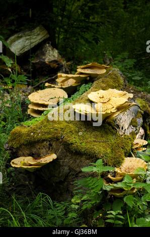 Mushrooms on a mossy tree stump. - Stock Photo